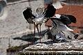 Cegonha Branca ( Ciconia ciconia ) 21 (48309350462).jpg