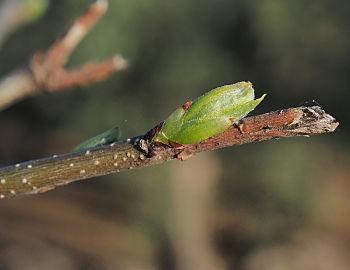 Celtis australis 20150404 c.jpg