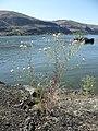 Centaurea diffusa 5.jpg