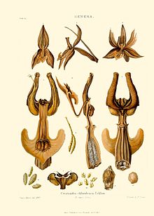 Ceratandra chloroleuca - Francis Bauer & John Lindley - Illustrations of orchidaceous plants - plate 16.jpg