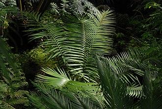 Ceratozamia - Ceratozamia mexicana