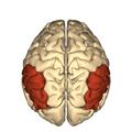 Cerebrum - Inferior parietal lobule - superior view2.png