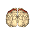 Cerebrum - postcentral gyrus - posterior view.png