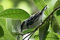 Cerulean Warbler (male) Fall Out 2 Sabine Woods TX 2018-04-09 09-10-49 (26637985167).jpg