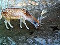 Cervus nippon, Sika deer male animal.jpg