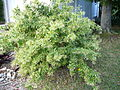 Cestrum nocturnum on bush.jpg