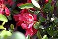 Chaenomeles japonica Texas Scarlet 0zz.jpg