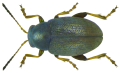 Chaetocnema hortensis (Geoffray, 1785) (6418531171).png