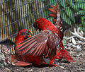Chalcopsitta cardinalis -Cincinnati Zoo, Ohio, USA -two fighting-8a.jpg