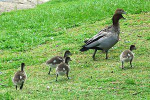 Australian wood duck - Image: Chenonetta jubata Australia family 8