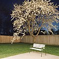Cherry tree at night (7523774722).jpg