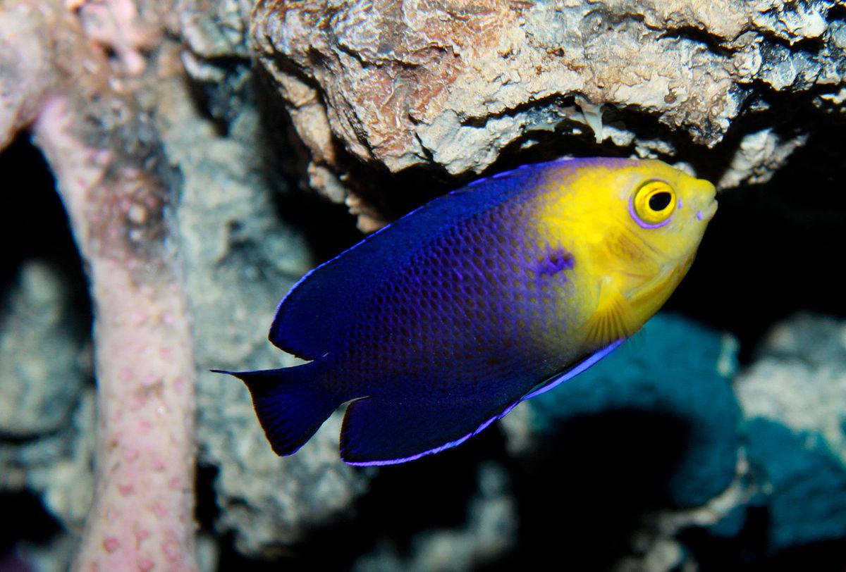 Cherubfish wikipedia for Nano aquarium poisson rouge