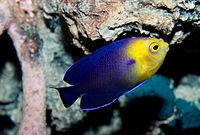 Cherub fish Centropyge argi