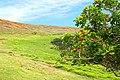 Chile-03103 - Rano Raraku Volcano & Coast Coral Tree (49073120952).jpg