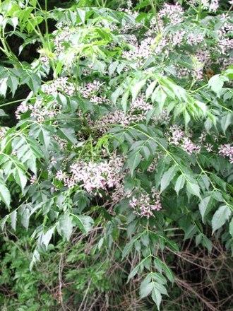 Meliaceae - Melia azedarach in flower