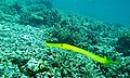 Chinese Trumpetfish (Aulostomus chinensis) (6135928668).jpg