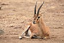 Chinkara Ranthambhore National Park.jpg