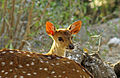 Chital young 1.jpg