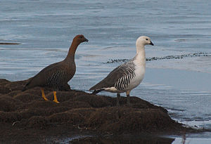 Upland goose - Female (left) and male (right) in Argentina