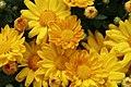 Chrysanthemum Michelle 1zz.jpg