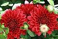 Chrysanthemum Tabitha 1zz.jpg