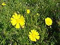 Chrysanthemum coronarium re.jpg