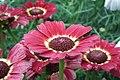 Chrysanthemum from lalbagh7266.JPG