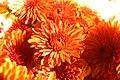 Chrysanthemum x grandiflorum Spicy Cheryl 0zz.jpg