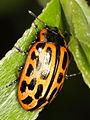 Chrysomela vigintipunctata (Chrysomelidae) (10136295715).jpg