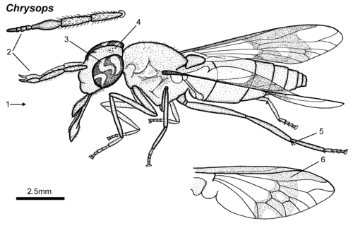 Chrysops adult lateral.png