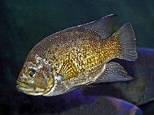 Cichlidae - Paratilapia polleni.JPG