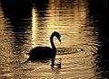 """Cincinnati - Spring Grove Cemetery & Arboretum """"Little Swan Silhouetted"""" (4485409855).jpg"""