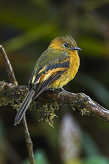 Cinnamon Flycatcher - Colombia S4E9442 (16872325001).jpg