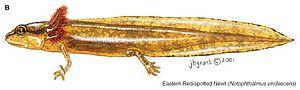 Eastern newt - Image: Circ 1258 plates 17b