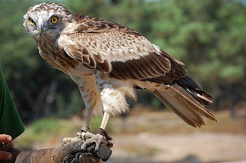 Орел змияр - Wikiwand