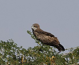 Circaetus gallicus perching on a tree.JPG