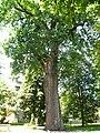 Cistercian Quercus robur.JPG