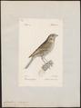 Citrinella miliaria - 1842-1848 - Print - Iconographia Zoologica - Special Collections University of Amsterdam - UBA01 IZ16100245.tif
