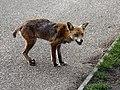 City of London Cemetery, Newham, London England - fox 03.jpg