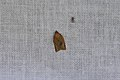 Clepsis consimilana (35677739521).jpg