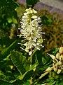 Clethra alnifolia 002.JPG