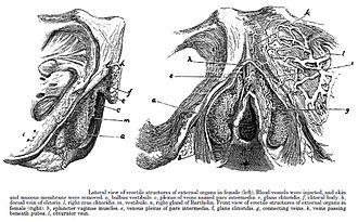 Zeichnung des weiblichen Kitzlers