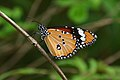 Close wing Basking of Danaus chrysippus (Linnaeus, 1758) – Plain Tiger (Male) WLB DSC 4539.jpg