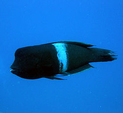 Clown wrasse coris aygula.JPG