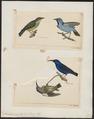 Coereba caerulea - 1700-1880 - Print - Iconographia Zoologica - Special Collections University of Amsterdam - UBA01 IZ19000363.tif