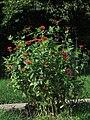 Colegiala - Insignia (Zinnia peruviana) - Flickr - Alejandro Bayer (3).jpg
