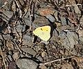 Colias-crocea-20130811-2.jpg
