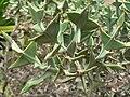 Colletia paradoxa (Villa Hanbury, Italy) 2.jpg