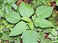 Collinsonia canadensis SCA-4394.jpg