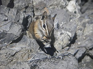 Colorado chipmunk - A Colorado chipmunk eating a sunflower seed near the entrance to Timpanogos Cave in Timpanogos Cave National Monument, Utah